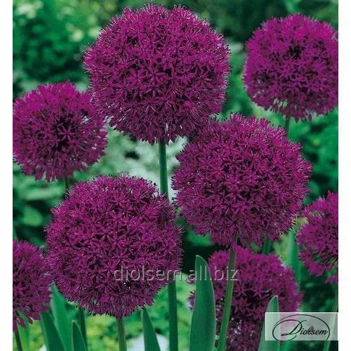 Луковицы декоративного лука Purple Sensation 37191