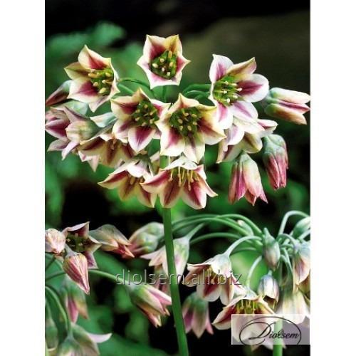 Луковицы декоративного лука Nectaroscordum Siculum 35243