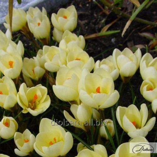 Луковицы крокусов Cream Beauty 37177