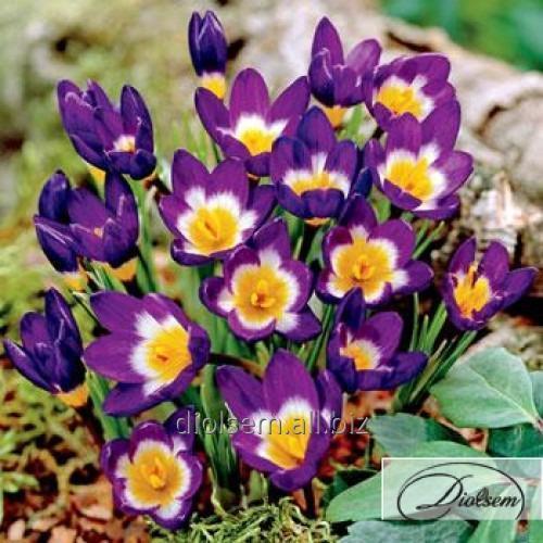 Луковицы крокусов Sieberi Tricolor 37178