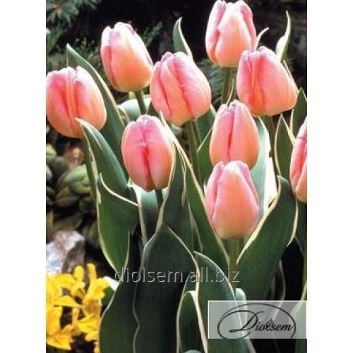 Луковицы тюльпана New Design 12107