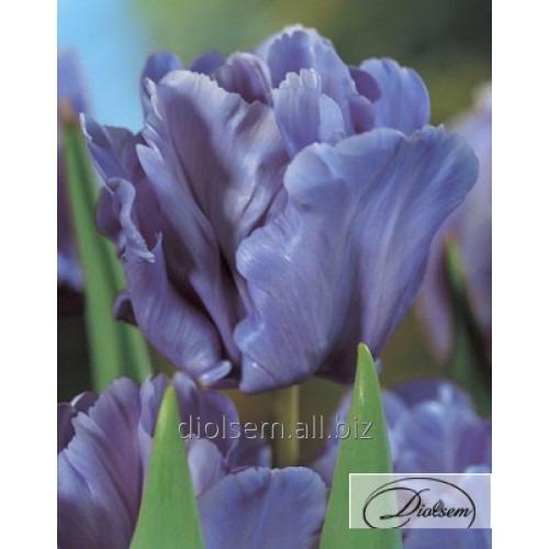 Луковицы тюльпана Blue Parrot 37099