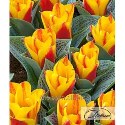 Луковицы тюльпана Bon Bini 12043