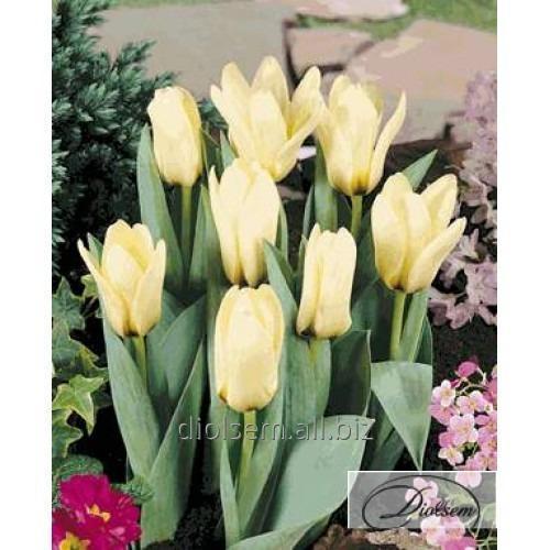 Луковицы тюльпана Concerto 12048