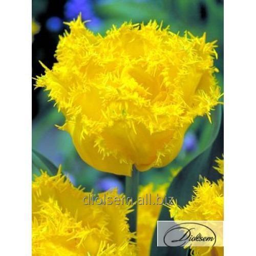 Луковицы тюльпана Exotic Sun 37095