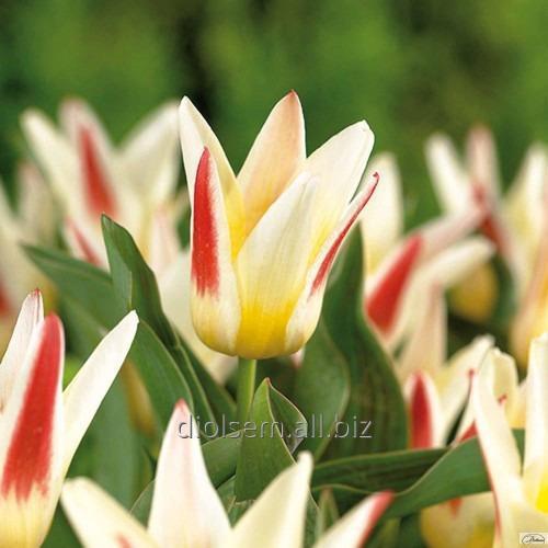 Луковицы тюльпана Johann Strauss 37113