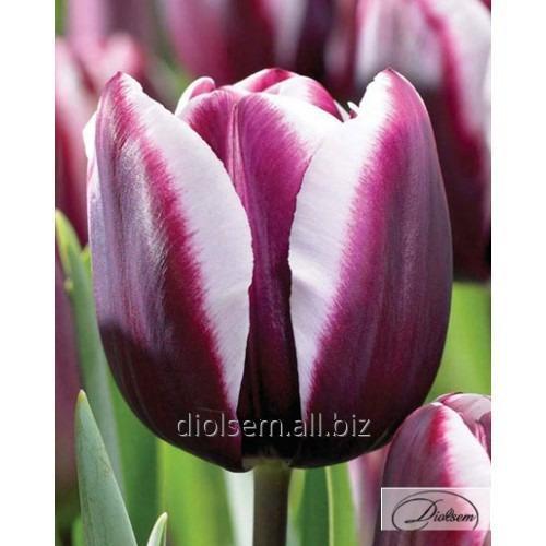 Луковицы тюльпана Muralto 37123