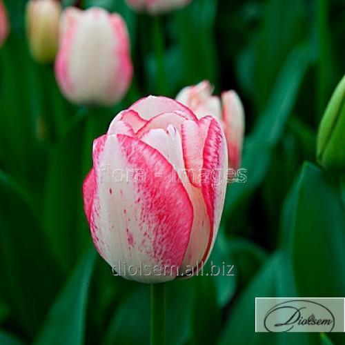 Луковицы тюльпана Playgirl 37133