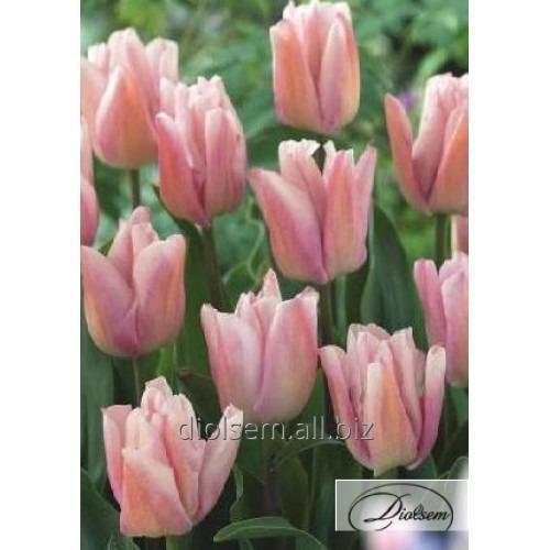 Луковицы тюльпана Rejoyce 12074