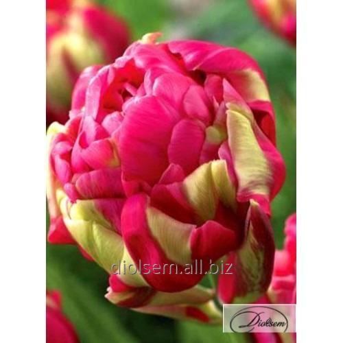 Луковицы тюльпана Renown Unique 35401