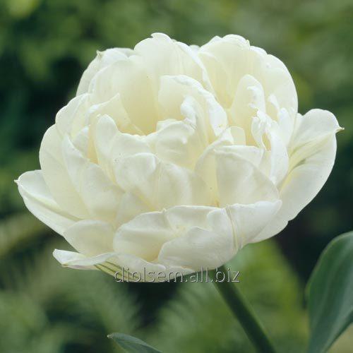 Луковицы тюльпана Up White 37141