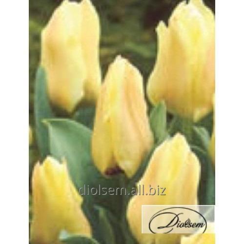 Луковицы тюльпана Albion Star 12047