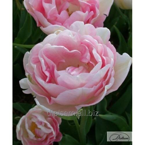 Луковицы тюльпана Angelique 12213