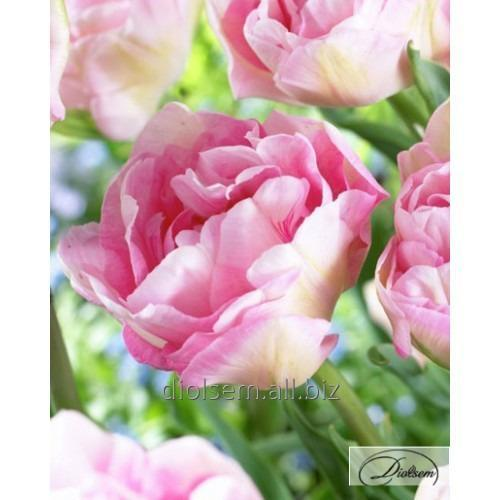 Луковицы тюльпана Angelique 37104