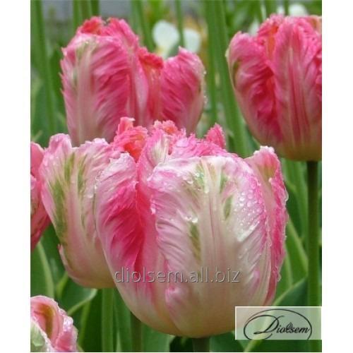 Луковицы тюльпана Apricot Parrot 35079
