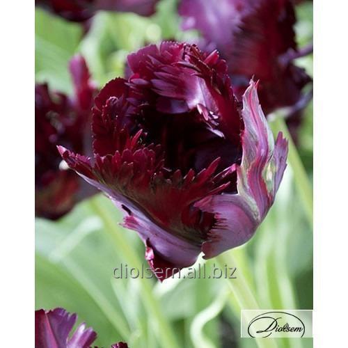 Луковицы тюльпана Black Parrot 37150