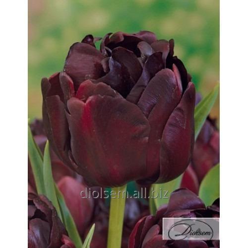 Луковицы тюльпана Black Hero 12217