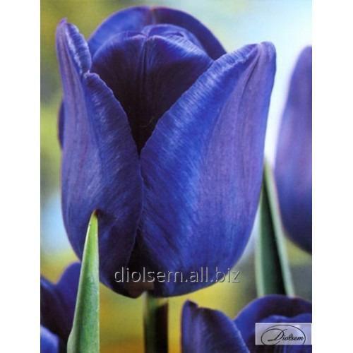 Луковицы тюльпана Blue Amaible 37131