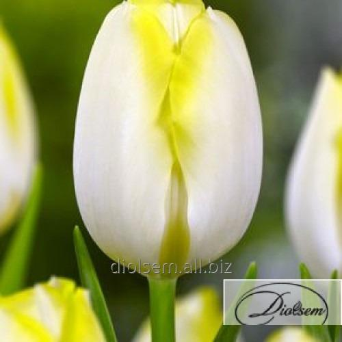 Луковицы тюльпана Bolroy Silver 35014