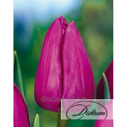 Луковицы тюльпана Bolroyal Alfa 12061