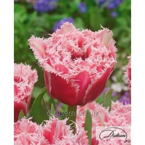 Луковицы тюльпана Brest 12172