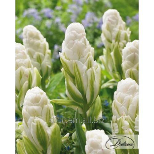 Луковицы тюльпана Brooklyn 35412