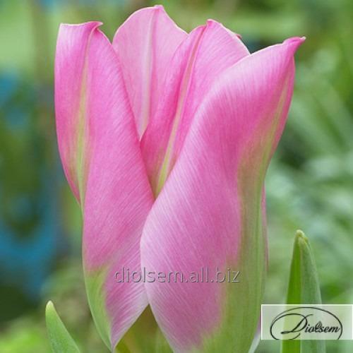 Луковицы тюльпана Christmas Exotic 12030