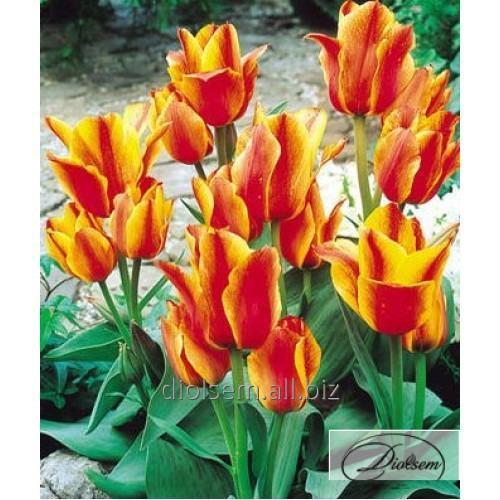 Луковицы тюльпана Compostella 12049