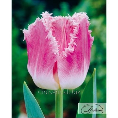 Луковицы тюльпана Dallas 37111