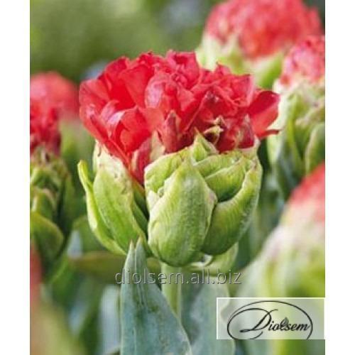 Луковицы тюльпана Double Crosby 35411