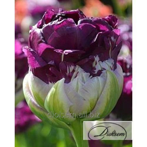Луковицы тюльпана Double Negrita 12232