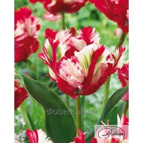 Луковицы тюльпана Estella Rijnveld 37098