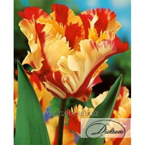 Луковицы тюльпана Flaming Parrot 12197