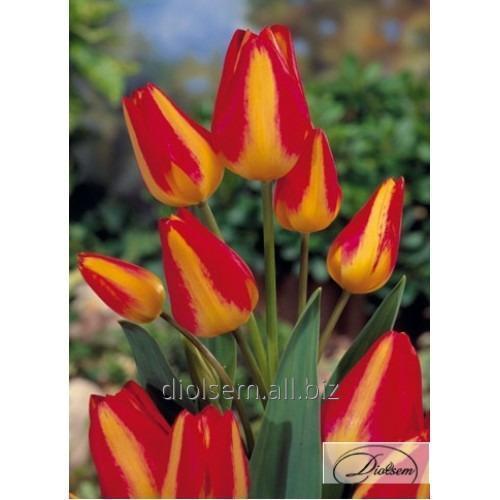 Луковицы тюльпана Florette 12111