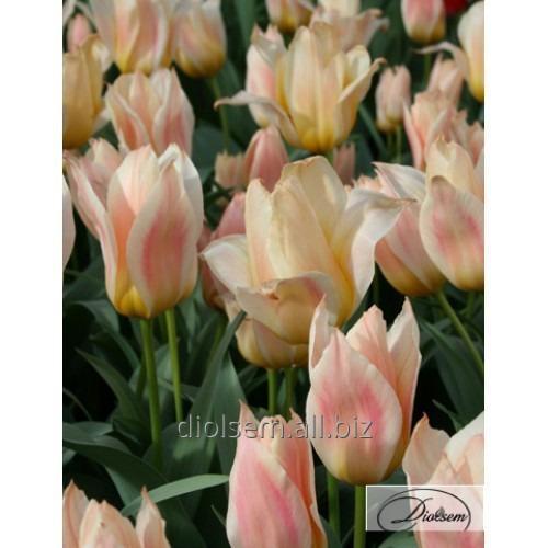 Луковицы тюльпана Fur Elise 35111