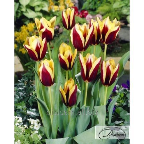 Gavota 37120 tulip bulbs