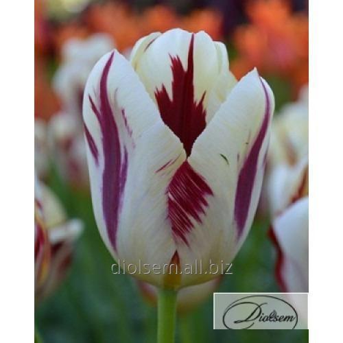 Луковицы тюльпана Grand Perfection 35004
