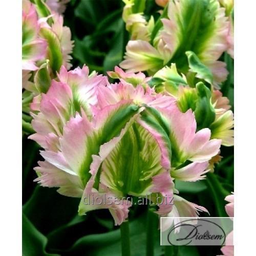 Луковицы тюльпана Green Wave 35087