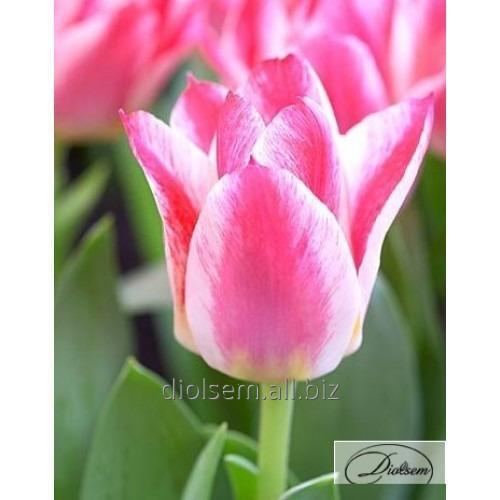 Луковицы тюльпана Greigs Happy 12044