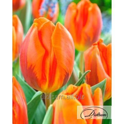 Луковицы тюльпана Hermitage 12029