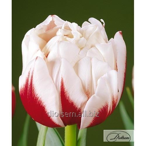 Луковицы тюльпана Horizon 37106