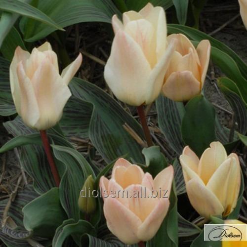 Луковицы тюльпана Little Girl 37092