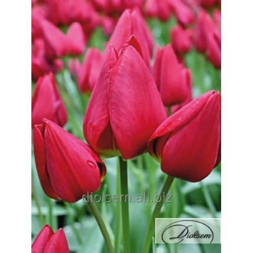 Луковицы тюльпана Merry Go Round 12112