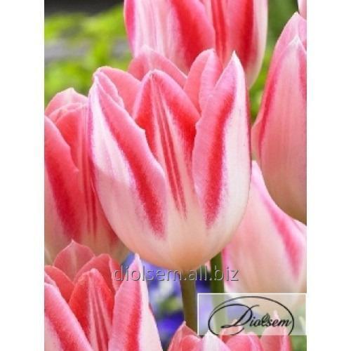 Луковицы тюльпана Mickey Chic 35017