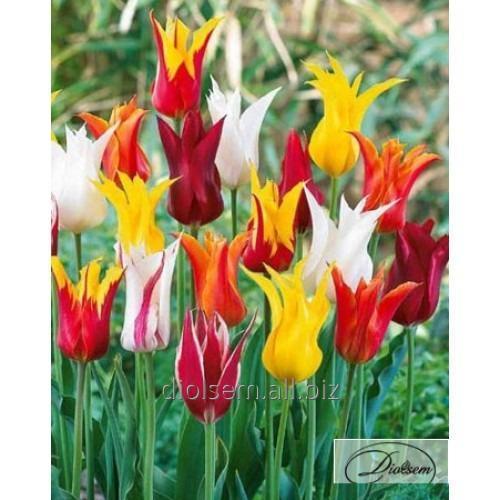 Луковицы тюльпана Mixed 12046