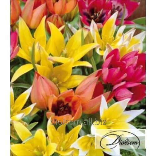 Луковицы тюльпана Mixed 12053