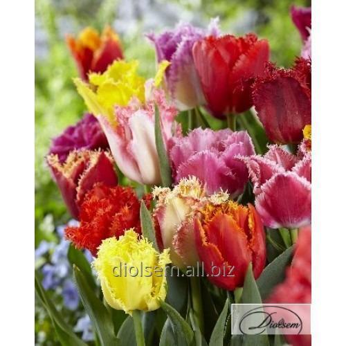 Луковицы тюльпана Mixed 12164
