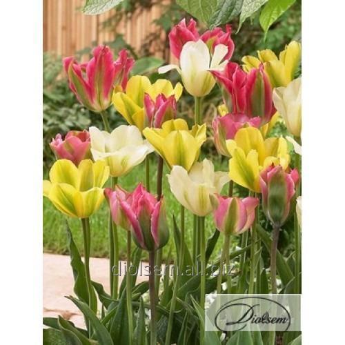Луковицы тюльпана Mixed 12184