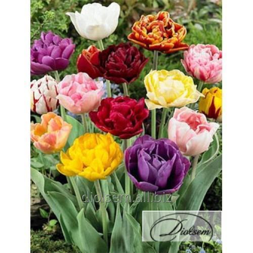Луковицы тюльпана Mixed 12234