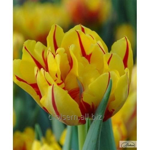 Луковицы тюльпана Monsella 35405